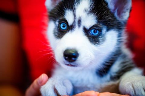 Знакомство и фотосессия с собаками северных ездовых пород в питомнике хаски «Из Лемболово»: хаски, якуты, самоеды.  Скидка 50%
